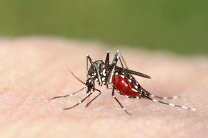 Un atoll du Pacifique éradique le moustique tigre... par erreur !