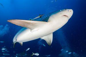 Polémique filets requins animaux marins australiens