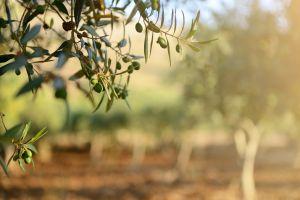 Bactérie tueuse d'oliviers en Corse