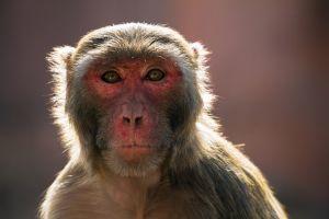 Inde bébé enlevé par macaque