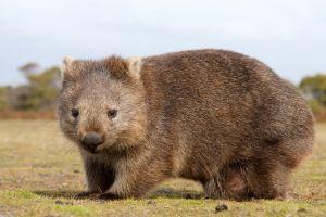 Le wombat plus cool que le Kangourou en Australie?