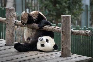 Panda vs Koala: un match à dormir debout