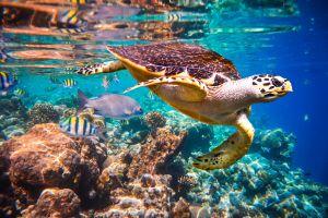 Australie : La tortue punk menacée d'extinction