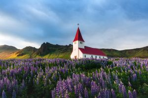 L'Islande et les lupins violets