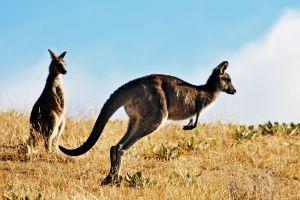Chine : un kangourou succombe à des jets de pierres dans un zoo