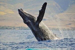 islanda riapre la caccia alle balene