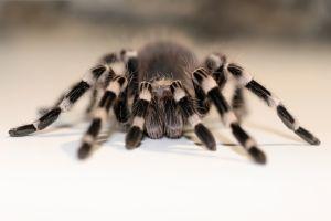 Australie : mort d'une araignée de 43 ans