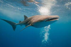 Un crocodile et des requins dévorent une baleine en pleine mer