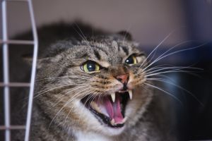 Les chats sauvages à l'attaque du Mont-Saint-Michel
