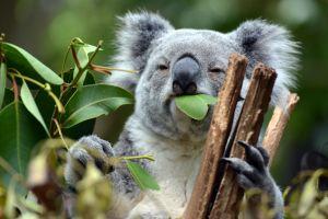 Des millions d'euros pour préserver les marsupiaux