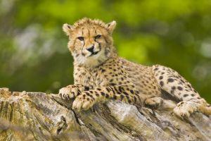 Pays-Bas  des visiteurs imprudents attaqués par des guépards