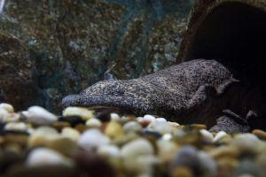 La salamandre géante de Chine pourrait bientôt disparaître