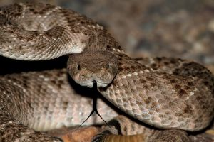 Man nearly dies after being bitten by severed rattlesnake head