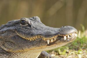Une femme tuée par un alligator en Floride