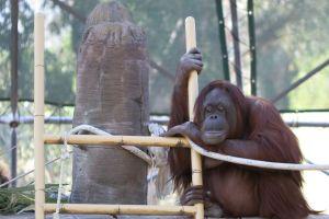 Disparition du plus vieil orang-outang du monde