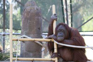 morto l'orangotango più vecchio del mondo