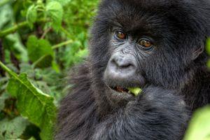 Disparition du gorille qui savait parler le langage des signes