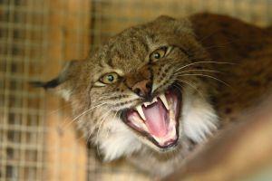 Une grand-mère etrangle un lynx