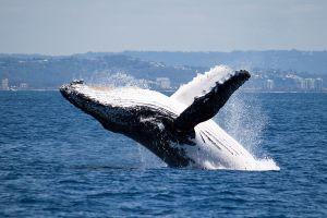 C'est le moment d'aller à Sydney pour observer les baleines !