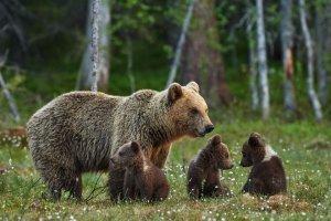 Haute-Garonne : une ourse fonce sur deux randonneurs
