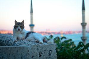 Istanbul, la ville où les chats sont rois