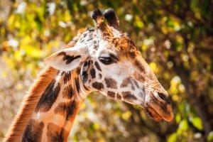 Une américaine tue une espèce protégée de girafe