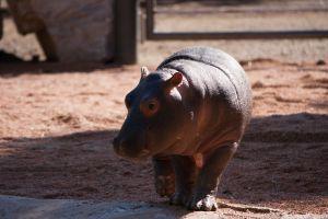 Naissance d'un hippopotame en France