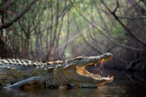 Australie : capture d'un crocodile de 600 kg