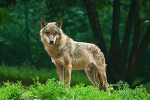 Un loup abattu en Hautes-Alpes