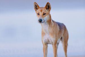 Le plus grand prédateur terrestre d'Australie est un chien !