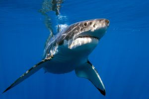 More Sharks to Live in British waters by 2050