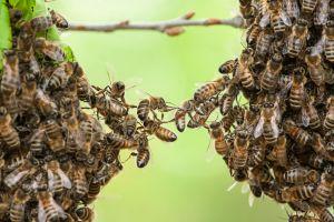 Les abeilles tueuses venues d'Afrique