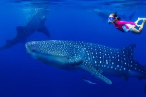 Sauver les requins par l'adoption