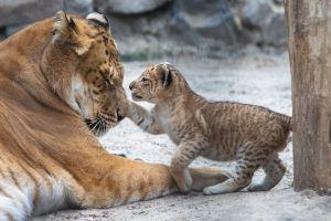 Le croisement entre un lion et un tigre est-il éthique ?