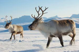 Danger de disparition pour les caribous du Canada