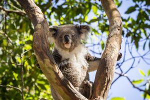 Un koala dans un avion direction Ecosse