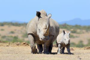 Un Français a créé des prothèses pour sauver les rhinocéros du braconnage