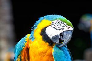 Les perroquets aussi rougissent d'émotion