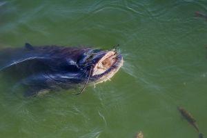 Un silure mordeur aurait fait son apparition dans un lac de la Creuse