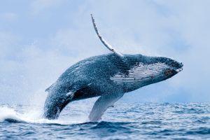 Saison des baleines au Pérou