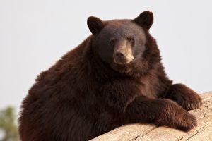 Ours noir à Ottawa au Canada