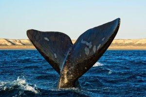 Argentina: le balene riempiono la Penisola di Valdés