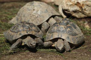 Corse  56 tortues hermann volées