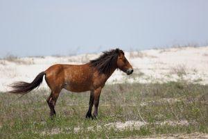 États-Unis : les chevaux sauvages de Caroline du Nord ont survécu à l'ouragan Florence