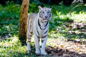 Au Japon, un tigre blanc, espèce menacée, tue un gardien dans un zoo