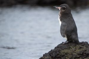 You don't have to go to Antarctica for a glimpse of flightless birds