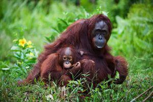 Une vidéo de 2013 relance le débat autour de la déforestation et de son impact sur les orangs-outans