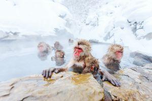 Jigokudani Monkey Park: il parco dove le scimmie combattono il freddo andando alle terme