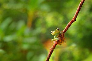 La forêt venezuelienne livre une nouvelle espèce de grenouille miniature