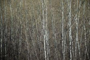 Pando: el particular bosque de los álamos clonados